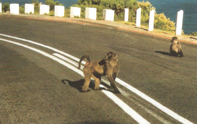 Impara a guidare... babbuino! (Capo di Buona Speranza, Sudafrica, 2002)