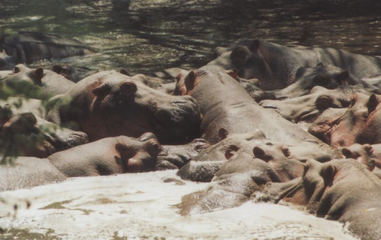 Maledetta alta stagione! (Serengheti, Tanzania, 1996)