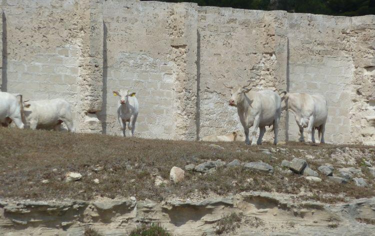 veline - Isola Favignana (Italia), 2011